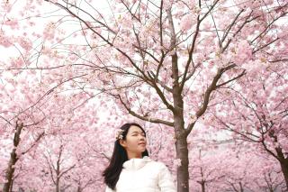 Cherryblossomsphoto-1474565667604-9eca57b84678